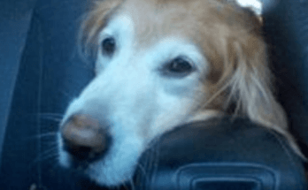 labradorssemperfi-old-labrador-retriever-dog-suffering-from-alzheimers-dementia