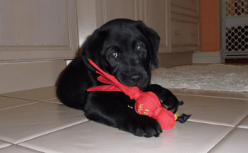 black-labrador-puppy-playing-with-plastic-toy