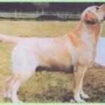 maschi di labrador giallo Rosanan_Royal_Prince-2