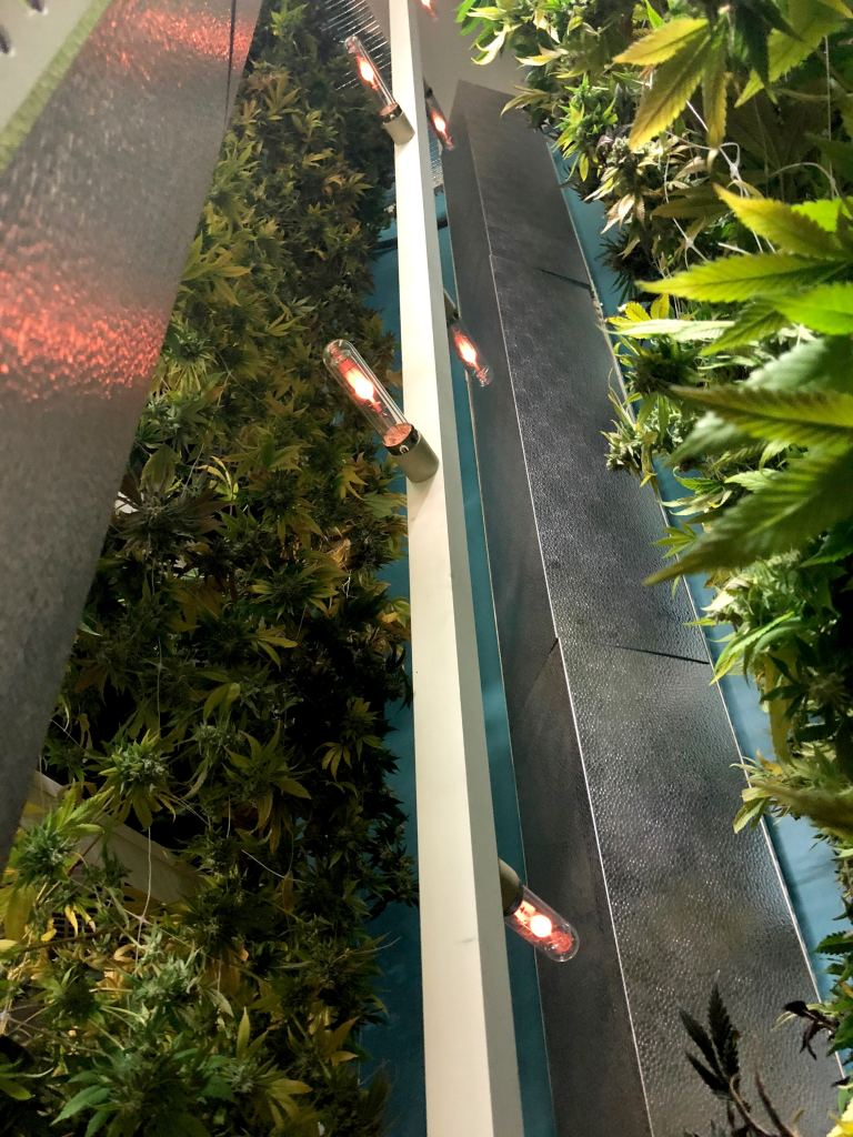 Red lights vertical marijuana growing system