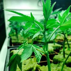 Marijuana Sprout