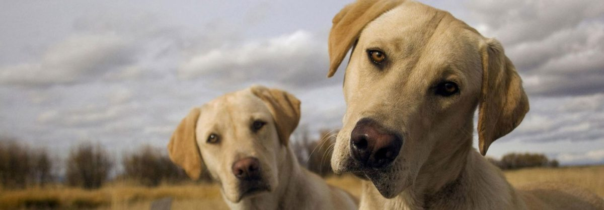 Image result for pictures of golden labs