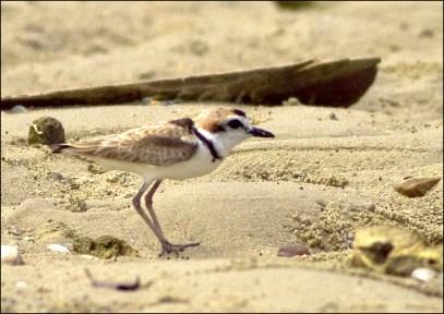 LABUAN 2016 AWC #IWC50 #Waterbirdscount-13.tif