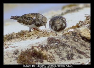 Shorebirds (Sg. Labu Shoal)-7.tif