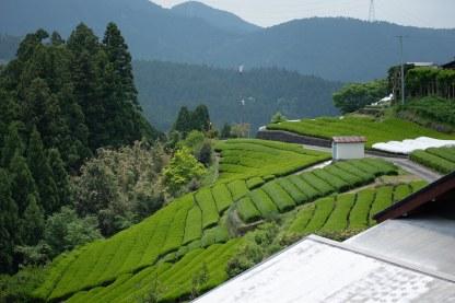 thé vert kukicha camellia sinensis