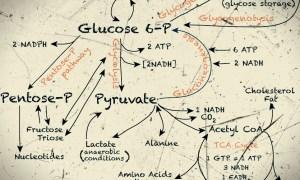 glucose metabolism pathway