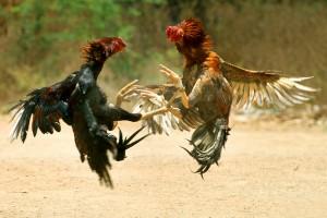Gallos Pelea