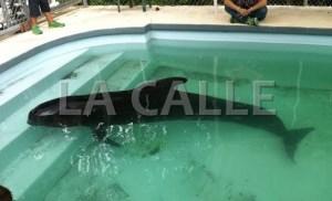 Ballena piloto rescatada en Mayagüez (Suministrada DRNA).