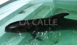La ballena fue sometida a eutanasia (Archivo).