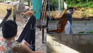 """Mono """"patas"""" mientras anduvo suelto, fotografiado por residentes de Guánica. Haga """"click"""" sobre la imagen para ampliarla (Fotos Facebook)."""