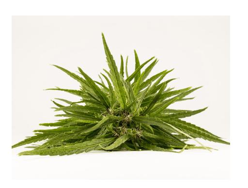 cannabis curativa