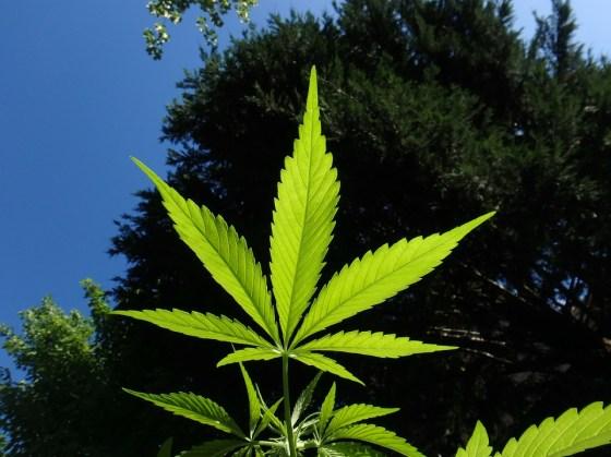 Marijuana Hemp Cannabis