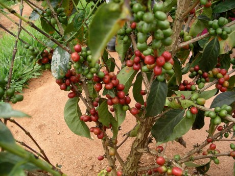 Our blog's coffee tree