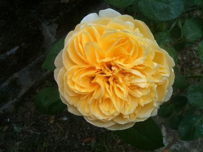 rosa gialla graham thomas mag 8 01