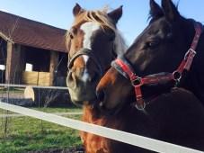 Amici cavalli al paddock