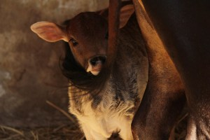 Il vitellino e la sua mamma