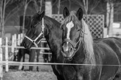 Cavalli al paddock