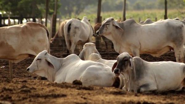 Dirigente ganadero exigió a las autoridades dar con los responsables de alimentar a los bovinos con clembuterol porque esto es un peligro para los ciudadanos