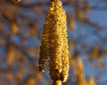 Haselnuss: Detail Blütenkätzchen