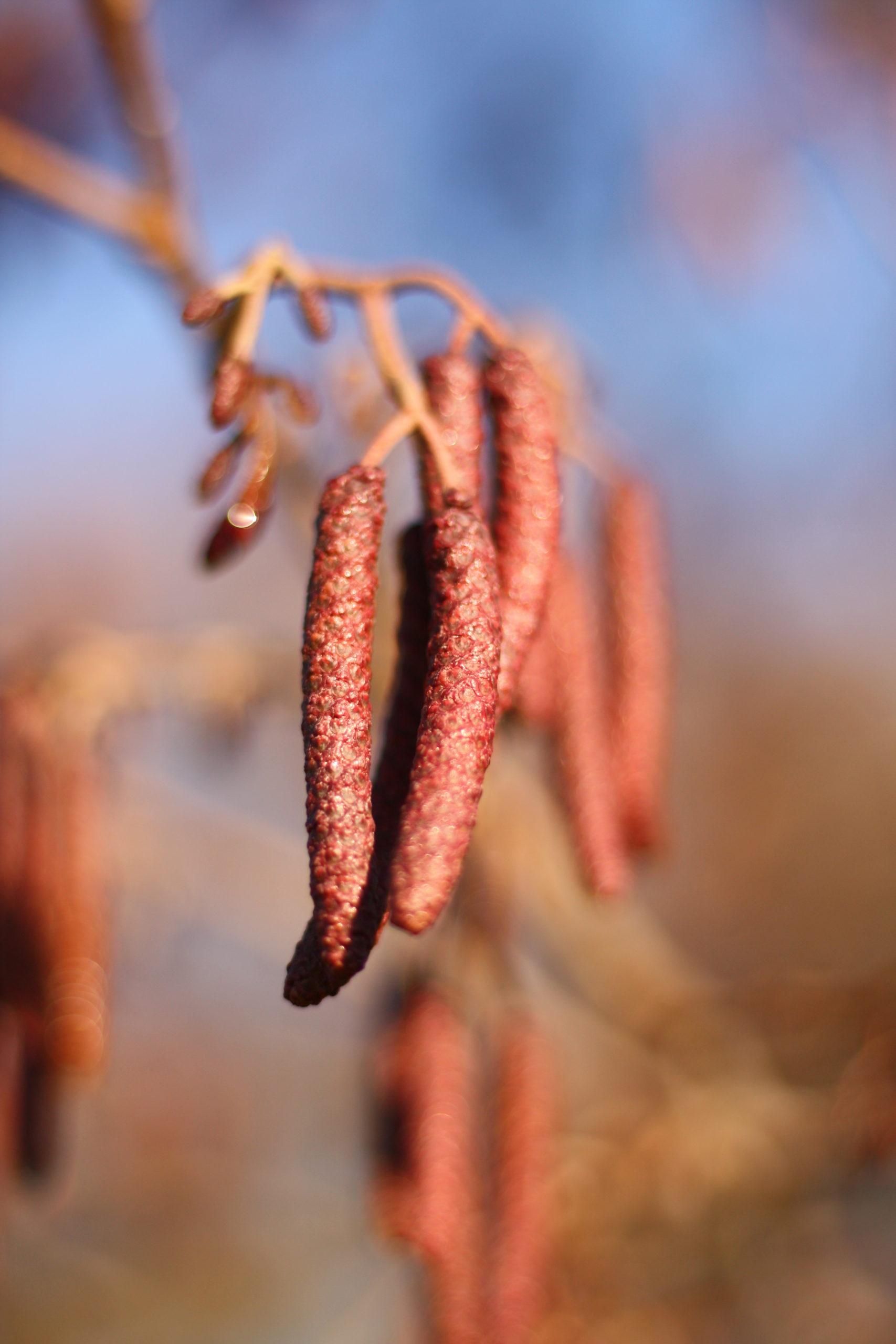 Winterliche Impressionen Schwarzerle: Detail unreife Blütenkätzchen