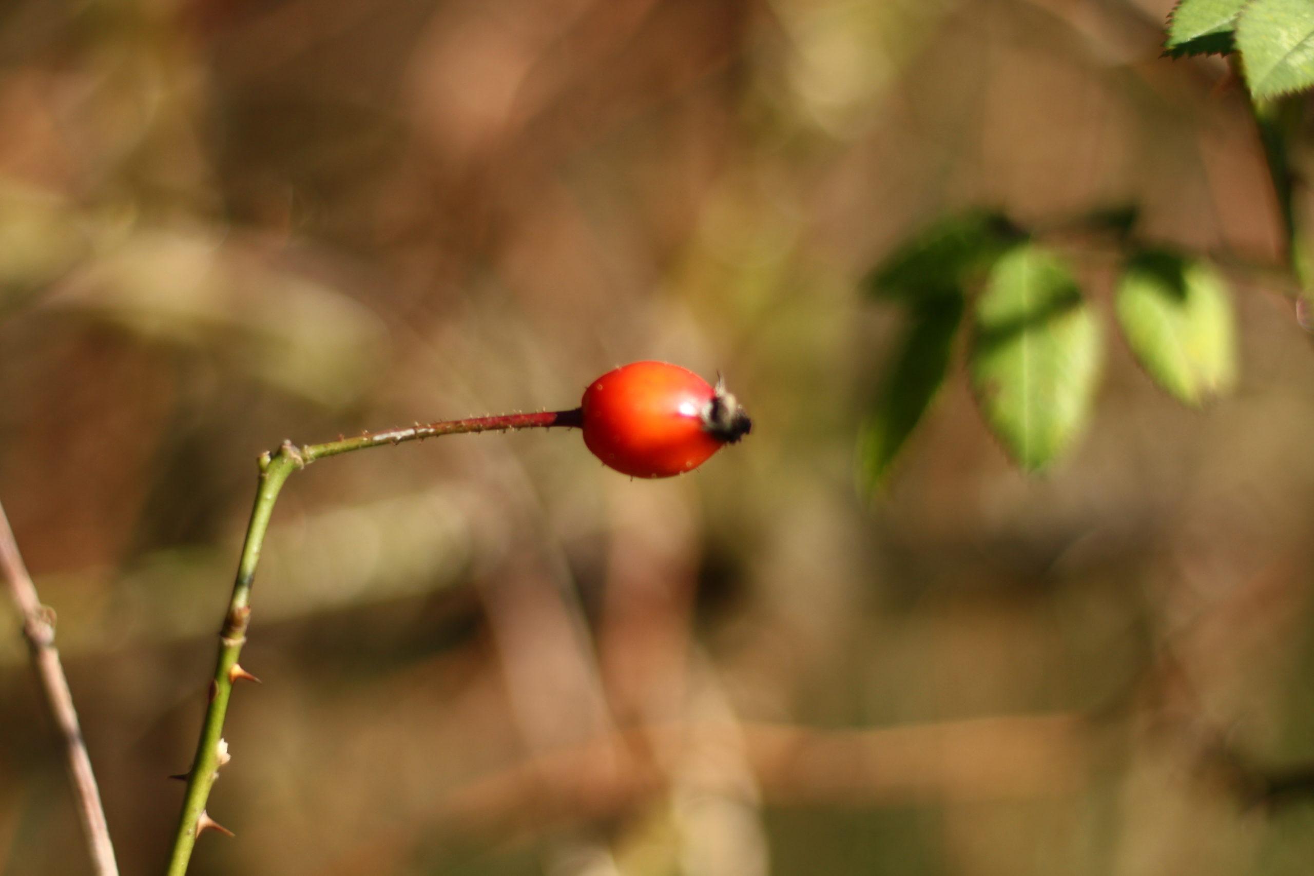 Winterliche Impressionen Hagebutte - der Fruchtstand einer Rose