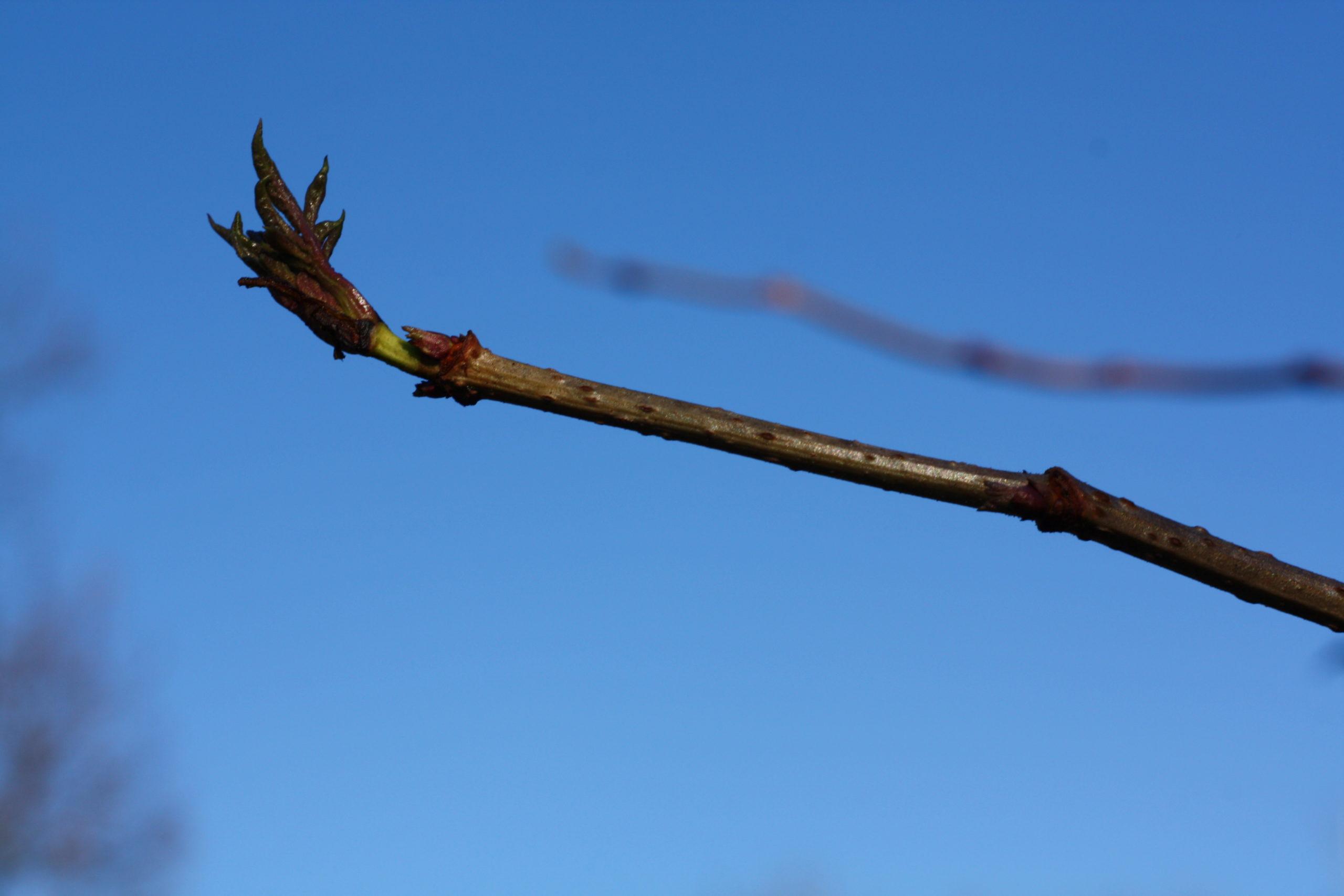 Winterliche Impressionen Holunder - Sambucus nigra: Detail Austrieb