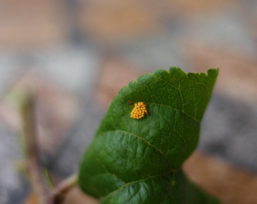 Natürliche Schädlingsbekämpfung durch Marienkäfer: Marienkäfer Eigelege