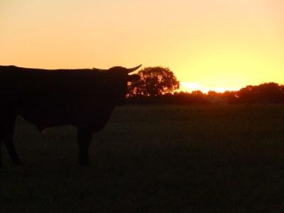 Voici Ippon, un croisé Holstein Lomousin né le 12 juillet 2013