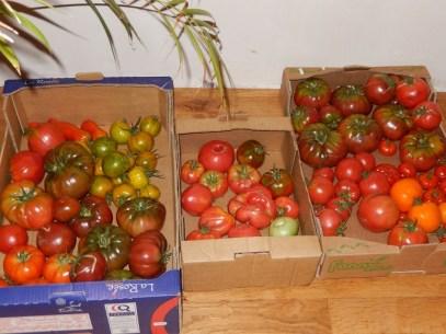 Les tomates s'en sortent bien aussi. On a ici de la Noire de Crimée, des Rose de Berne, des Andine cornue et des Green Zebra.