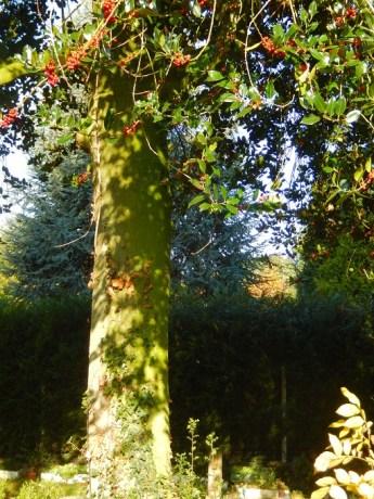 Le houx est un arbuste de croissance très lente, au long tronc souvent très droit, lourd et solide pouvant atteindre exceptionnellement 20 mètres. Capable de survivre jusqu'à 300 ans, certains sujets présentent des dimensions hors du commun, jusqu'à 50 cm de diamètre. Le houx de La Chènevétrie, avec ses 65 cm de diamètre, est un sujet hors-norme!