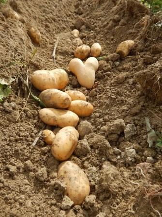 patates-en-terre