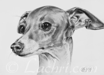 Italian Greyhound graphite (pencil) drawing