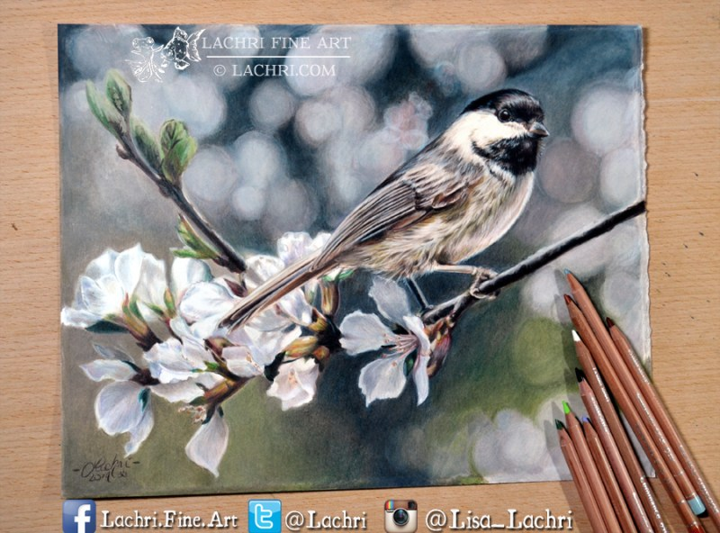 chickadee in Luminance colored pencil