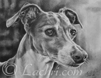 Italian Greyhound graphite (pencil) portrait