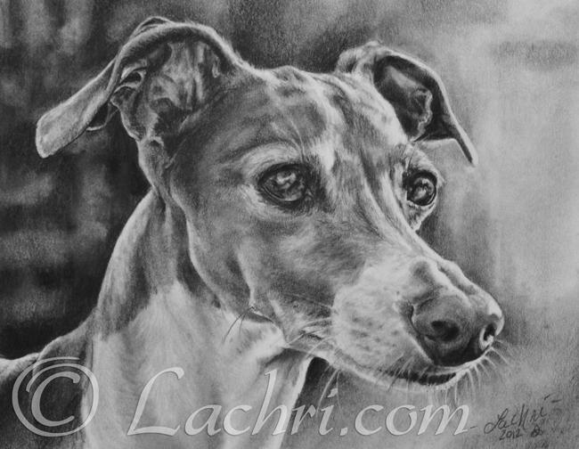 Italian Greyhound graphite (pencil) portrait