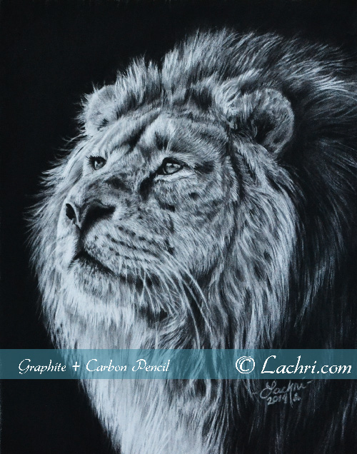 Lion carbon pencil and graphite drawing