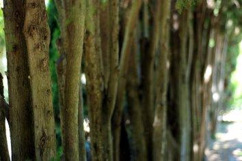 Extraña sucesión de troncos alineados y extremadamente finos para su altura