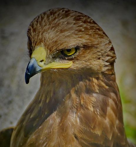 vultur auriu 2 resize