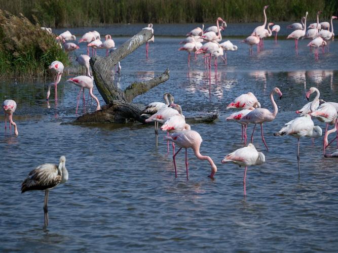 Flamingo roz Franta Stefan Ciprian Momita 1 resize