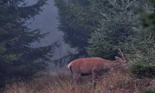 Boncănitul Cerbilor în Parcul Național Călimani, Ture Foto!