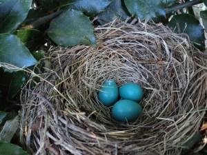 bird nest, bird eggs, blue eggs, birds nest, nesting, nidus, niche, niching, nicheing, practice niche, healthcare niche