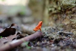 Photo of red poison dart frog on a log