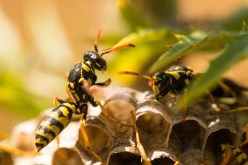 Photo of several yellowjacket hornets in their hive