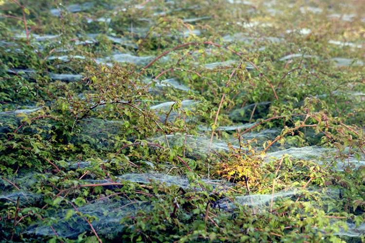 champ toile d'araignées