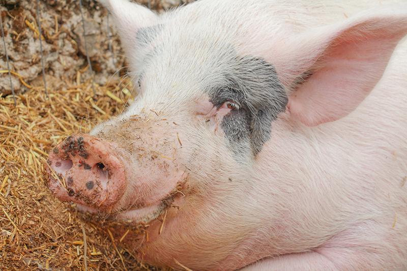 taniere-zoo-refuge-cochon