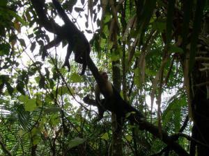 Monos cara-blanca en Costa Rica
