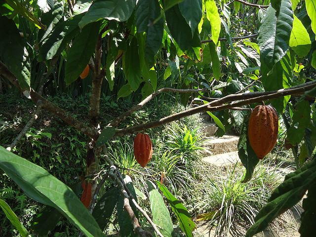 Planta del cacao