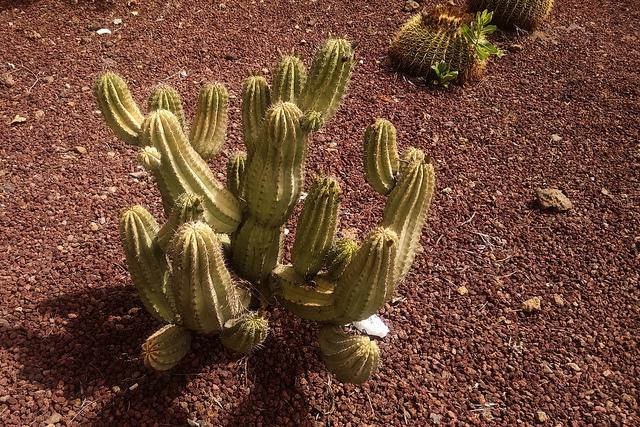 Cactus, Tenerife
