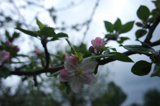 Albaricoque en flor