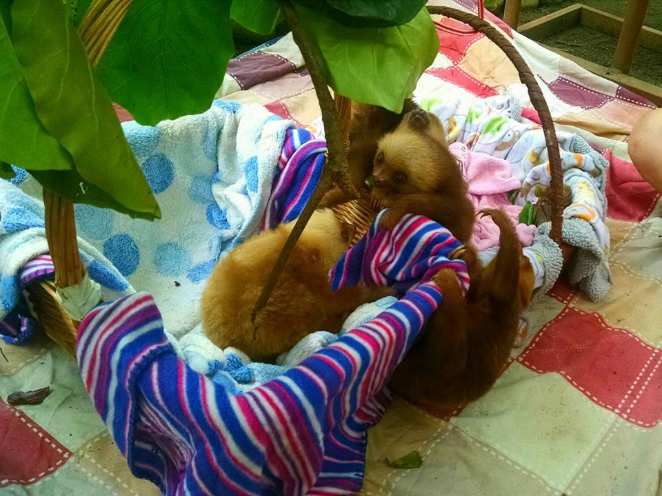 Perezosos bebé, centro de rescate Jaguar
